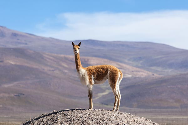 Vicuna - Princess of the Andes