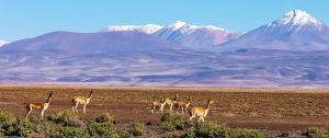 vicunas grazing on the Bolivian Altiplano