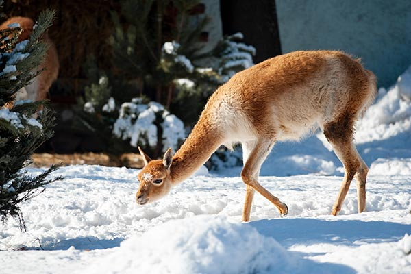 Vicuna walking in snow meadow