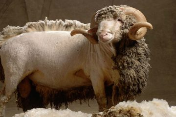 How can you tell that it is real wool