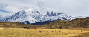 Wild Guanakos in-Torres del Paine National Park Patagonia,