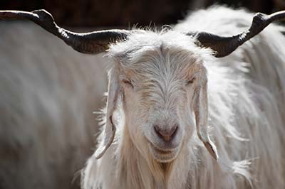 lose-up-of-Cashmere-Goat-white