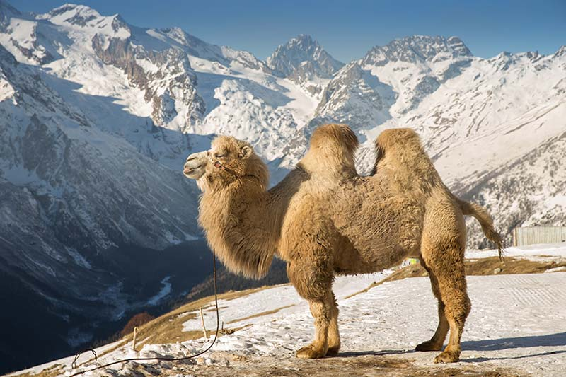 Bactrican-Camel-in-Mountains