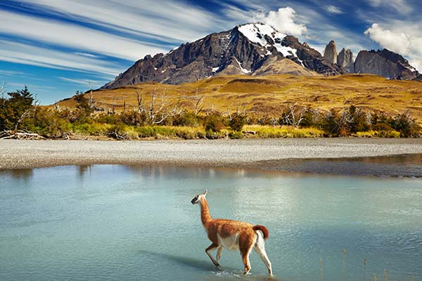 Huanaco crossing River in Torres del Paine