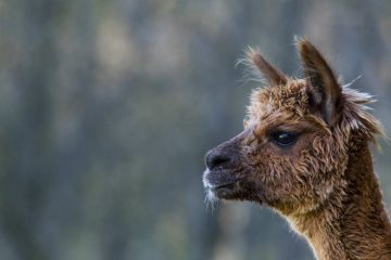 How to care for Alpaca Wool
