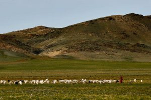Monk with Cashmere Goats