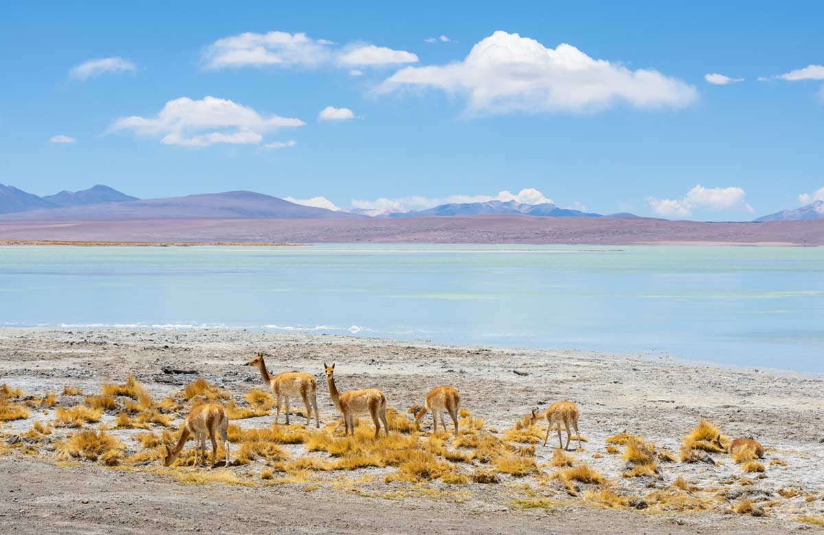 A herd of Vicuna by the turquoise waters of the Chalviri Lagoon