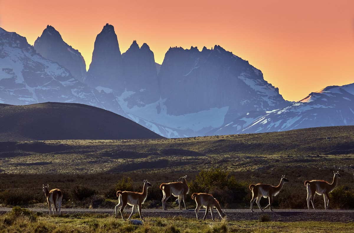 Guanacos-grazing-in-Torres-del-Paine-at-sunset
