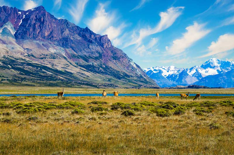 Patagonia Small herd of guanaco