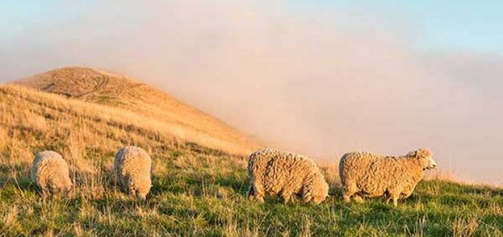 flock-of-Merino-Sheep2